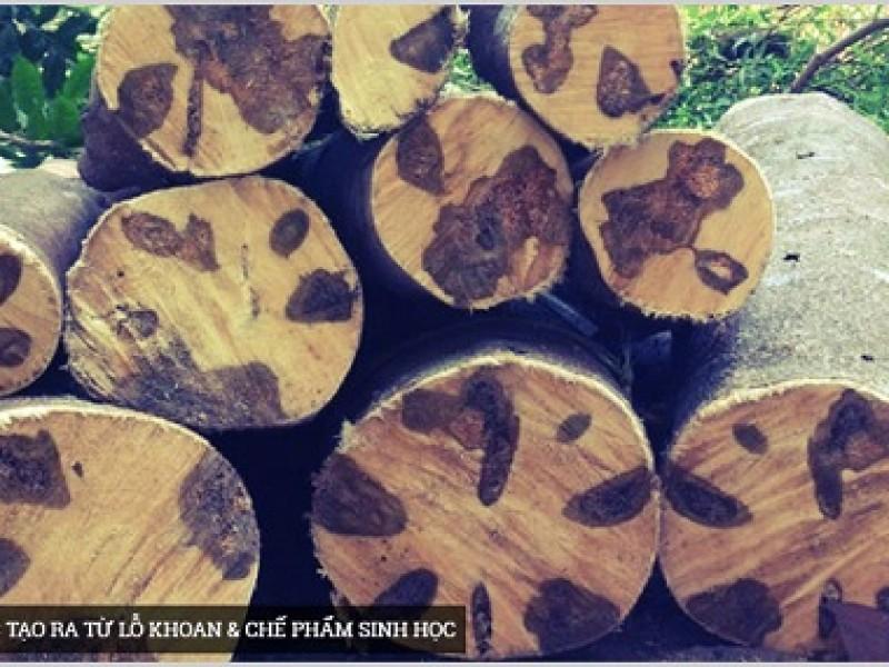 Cây Dó bầu, trầm hương tự nhiên và trầm hương nhân tạo
